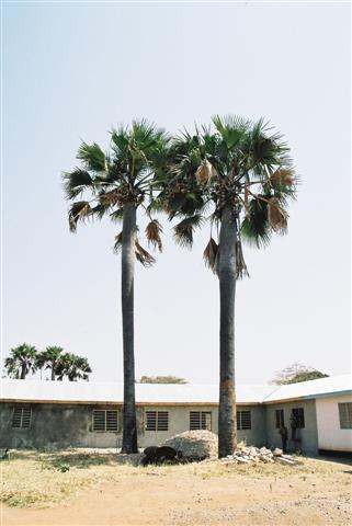 Elephant palms at Nyasa clinic