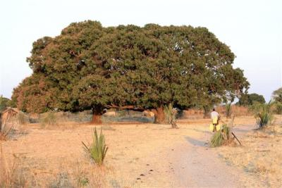 Mwanhala mango trees