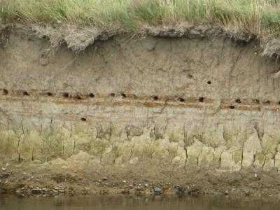 Devon - sand martin nest-holes in river bank