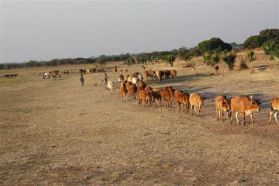 Cattle herd going to water